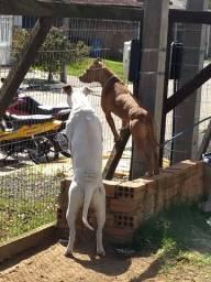 Título do anúncio: Filhotes Pit Bull Red Nose e Dogo Argentino