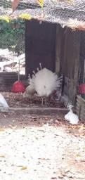 Título do anúncio: Casal de galinha branca.