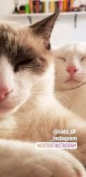 Casal de Gatos para adoção responsável