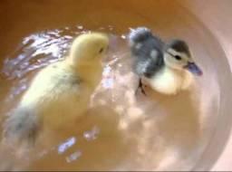 Doa-se filhote de Patos amarelo