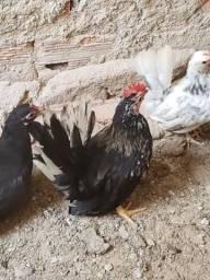 Casal de galinhas Nagasaki