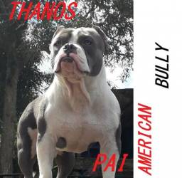 Pit Bull American Bully