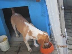 Cachorro raça Beagle, bicolor, 2 anos