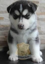Magníficos filhotes de Husky Siberiano Disponível