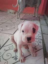 Raça Boxer. Cachorros lindos. ZAP *