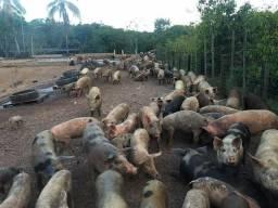 Porcos abatidos ou vivos
