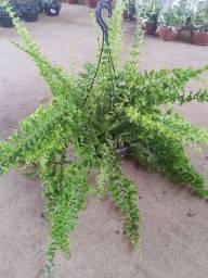 Plantas ornamentais - Samambaia hilli C21
