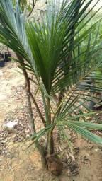 Muda Grande de Coco Anão 1,60m
