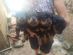 Promocao rottweiler 600 Macho 700 fêmea  até 12x