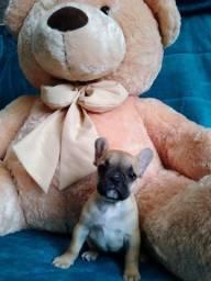 Título do anúncio: Neném Bulldog Francês - entrega imediata