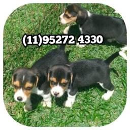 Título do anúncio: Lindas Fêmas da raça Beagle tricolor a pronta entrega só aquii
