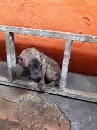 Título do anúncio: Filhote bull dog frances
