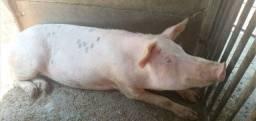 Título do anúncio: Vendo uma porca  c 5 leitão de 4 meses e meio c uns 20 quilos cada .