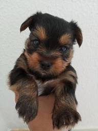 Título do anúncio: Cachorro ? yorkshire pura raça
