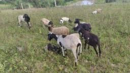 Título do anúncio: Vendo carneiros, ovelhas, cabras e bodes