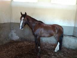Título do anúncio: Cavalo castrado mangalarga