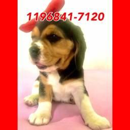 Título do anúncio: Beagle Fêmea de procedência, 13 polegadas a sua espera, leia o anúncio