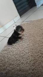 Yorkshire Terrier micro macho