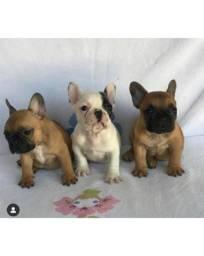 Mini Bulldog francês DE FATO TOPS