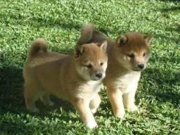 Excelentes filhotes de Shiba inu