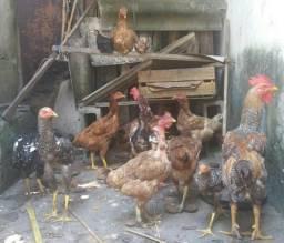 Vendo Galinhas frango é Galos Caipiras