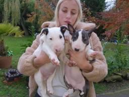 Bull Terrier Inglês venham conferir temos lindos filhotes