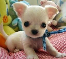 Chihuahua, fêmeas e machinhos, já vacinados e com todas as garantias em contrato.