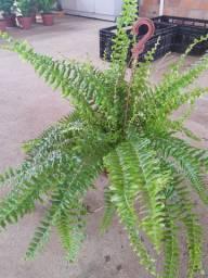 Plantas ornamentais - Samambaia americana