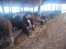 Bezerro recém nascidoholandês ou Jersey para touro