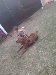 Vende se cachorra da raça labradora com 3 anos
