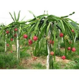 Título do anúncio: Muda   Pitaya Vermelha poupa branca