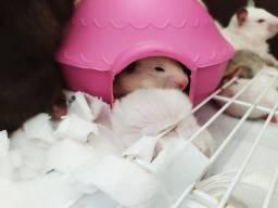 Hamsters Sírios no centro de Curitiba