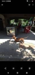 Cachorro salsicha