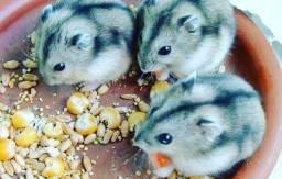 Título do anúncio: Hamster russo menor espécie de animal de estimação do brazil