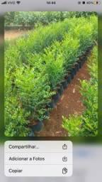 Murta para cerca viva/Tumbergia arbustiva/Podocarpus