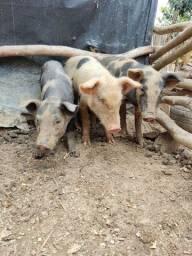 Título do anúncio: Leitoa ( Porcas )
