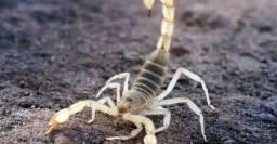 Dedetização contra escorpiões
