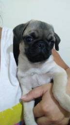 Pug macho