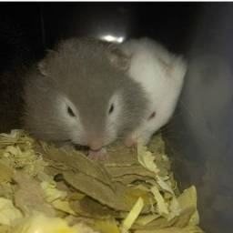 Hamster Sírio de pelúcia