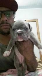 Lindos filhotes de American bully fozze x psy Whats *