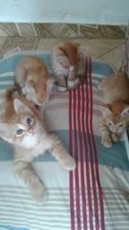 Gatos mestiços filhotes para adoção