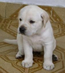 Labrador macho com Garantia e Procedencia