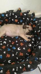 Pug bbs c pedigree