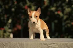 Filhotes de Bull Terrier, já vacinados macho e fêmea suporte total de saúde
