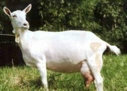 Leite de cabras puro