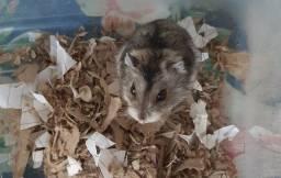 Título do anúncio: hamster sirio