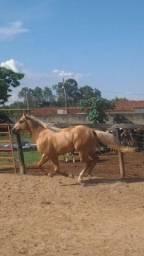 Égua QM registrada prenha