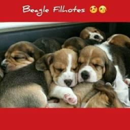 Machos e Fêmeas Beagle Filhotes Recibo Garantia de saúde Pedigree