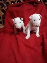 Bull Terrier Inglês com garantia de saúde e suporte veterinário gratuito 24 horas
