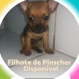 FILHOTE DE PINSCHER 01